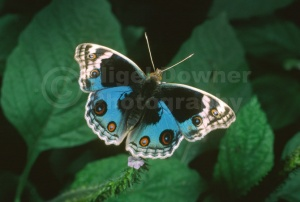 IN-0432 Blue Pansy butterfly
