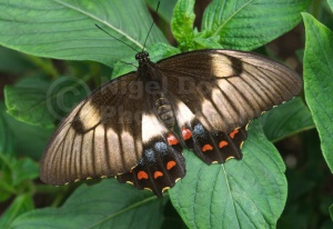 IN-0446 Common Mormon butterfly