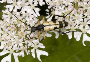 IN-0459 Longhorn beetle