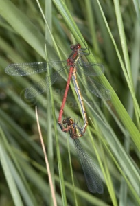 IN-0465 Large red damselflies