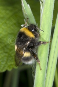 IN-0467 White-tailed Bumble-bee