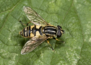 IN-0471 Hover-fly