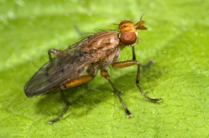IN-0479 Dung fly
