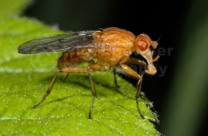 IN-0480 Dung fly