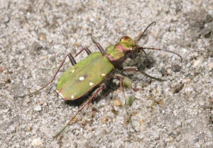 IN-0481 Green tiger beetle