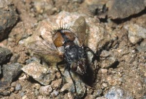 IN-0483 Tachinid fly