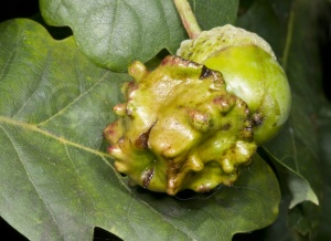 IN-0486 Knopper gall on acorn
