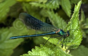 IN-0491 Banded demoiselle