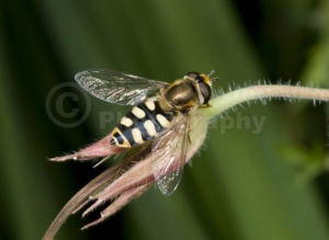 IN-0497 Hover-fly