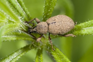 IN-0507 Weevil