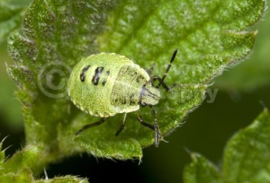 IN-0513 Green shieldbug larva