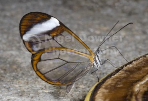 IN-0521 Glasswing butterfly