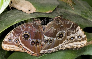 IN-0523 Blue morpho butterflies mating