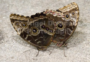 IN-0524 Blue morpho butterflies mating