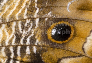 IN-0536 Owl butterfly wing markings