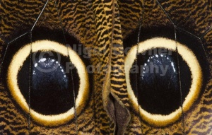 IN-0538 Owl butterfly underwing eye-spots