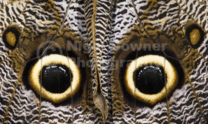 IN-0539 Owl butterfly underwing eye-spot markings