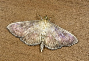 IN-0541 Mother-of-Pearl moth