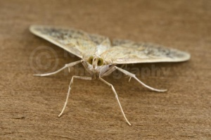 IN-0542 Mother-of-Pearl moth