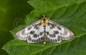 IN-0544 Small magpie moth