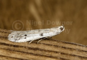 IN-0545 Ermine Knot-Horn Moth