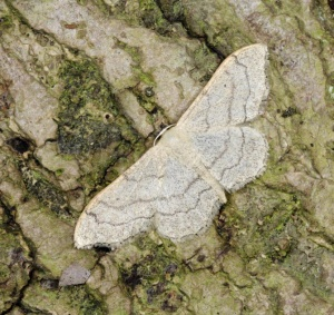 IN-0551 Riband wave moth