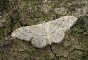 IN-0552 Riband wave moth