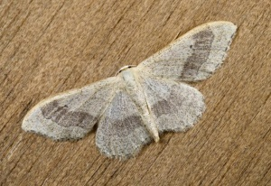 IN-0553 Riband wave moth
