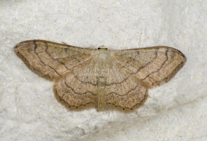 IN-0554 Riband wave moth