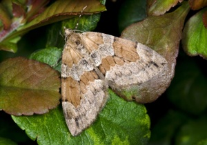 IN-0555 Grey Pine Carpet Moth