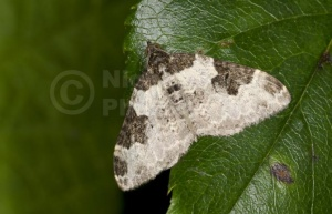 IN-0556 Garden Carpet Moth